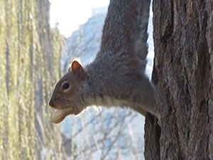 Planet Boston: Eastern Gray Squirrel